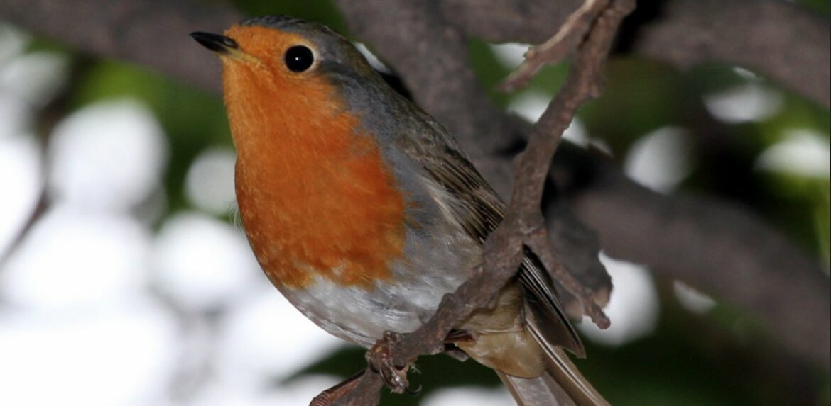 Inside the Eye of Robins Researchers Find Magnetic Field-Detecting Protein that May Be Long-Sought Migration Sensor